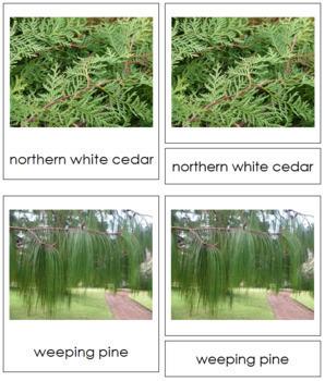 Plant Kingdom: Division Coniferophyta