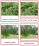 Plant Kingdom: Division Coniferophyta (color borders)