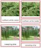 Plant Kingdom: Division Coniferophyta (color borders)