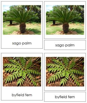 Plant Kingdom: Division Cycadophyta