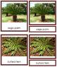 Plant Kingdom: Division Cycadophyta (color borders)