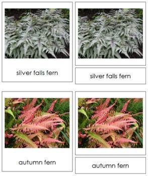 Plant Kingdom: Division Filicinophyta