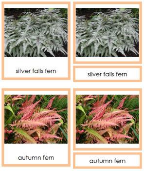Plant Kingdom: Division Filicinophyta (color borders)