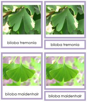 Plant Kingdom: Division Ginkgophyta (color borders)