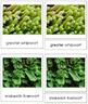 Plant Kingdom: Division Marchantiophyta