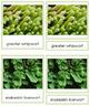 Plant Kingdom: Division Marchantiophyta (color borders)