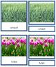 Plant Kingdom: Division Monocotyledon (color borders)