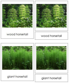 Plant Kingdom: Division Sphenophyta