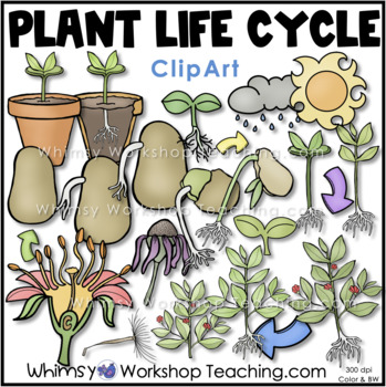 Plant Life Cycle Clip Art - Whimsy Workshop Teaching