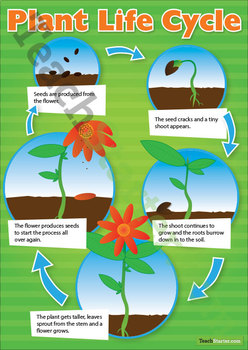 Plant Life Cycle Poster & Sort Activity