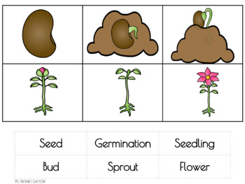 Plant Life Cycle Three Part Cards