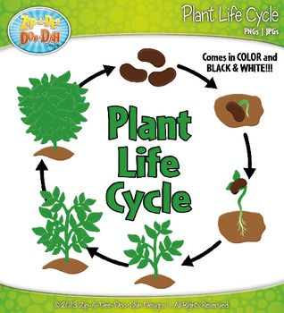 Plant Life Cycle and Life Stages Clipart {Zip-A-Dee-Doo ... - photo#24
