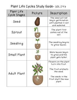 Plant Life Cycles Study Guide