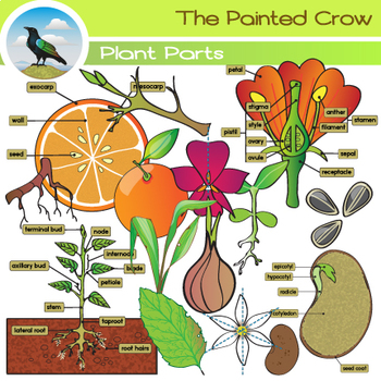 Parts Of A Plant Clip Art Botany Graphics By The Painted Crow Tpt