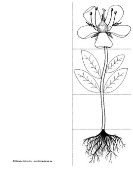 Plant Parts Foldable and Interactive Notes Page