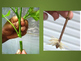 Plant Propagation and Grafting