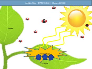 Plant Transport (Photosynthesis) Animation