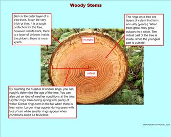 Plant Transport Systems -  A Fifth Grade PowerPoint Introduction