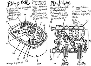 Plant Cell coloring sheet Stomata/leaf cross section | TpT