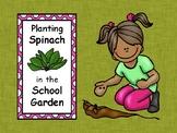 Planting Spinach in the School Garden