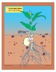 Plants: A Lima Bean Grows