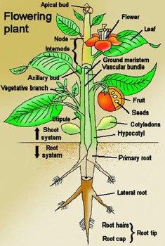 Plants: Lesson 1 Plant Importance, Anatomy & Function