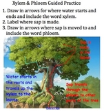 Plants: Lesson 4: Xylem vs. Phloem (aka Death to a Tree!)