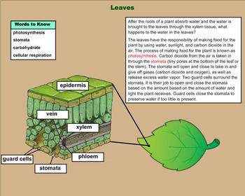 Plants – Photosynthesis and Respiration – A Fifth Grade PowerPoint Introduction