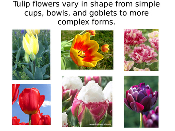 Plants and Gardens: The Wonderful World of Tulips