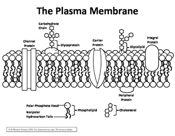 Cell Membrane Diagram Worksheet