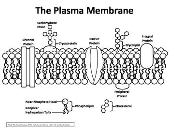 Plasma Membrane / Fluid Mosaic Diagram