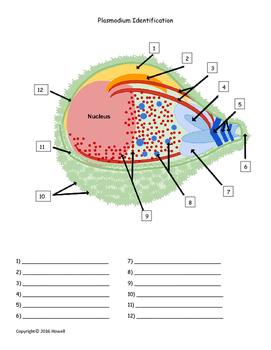 Plasmodium Identification Quiz or Worksheet
