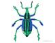 Plusiotis Gloriosa Bug Drawing