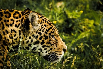 Poetry - The Jaguar, by Ted Hughes