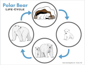 Polar Bear Life-Cycle and Anatomy
