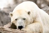 Polar Bear / Photography   Fotografía de un oso polar