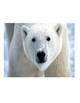 Polar Bear Text Features