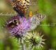 Pollinating - Bees and Butterflies: Photos