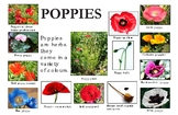 """Poppies Poster:  """"Ledger/Tabloid"""" (11 x 17 inches)"""