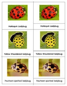 Popular Ladybugs: Three Part Cards