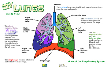 Poster: My Lungs - Inside View
