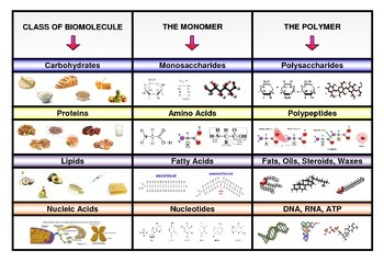 poster categorizing four main types of biomolecules with monomers and polymers