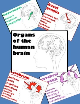 Psychology or Anatomy - PowerPoint - Organs of the Brain