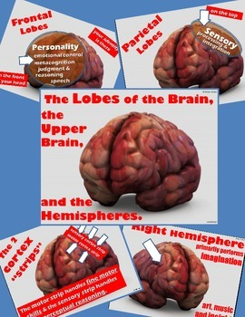 Psychology or Anatomy - PowerPoint - The Lobes of the Brain
