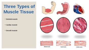 Powerpoint: The Muscular System PowerPoint (Human Anatomy & Physiology Unit 6)