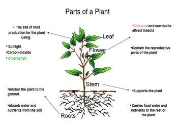 Powerpoint of parts of a plant