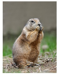 Prairie dog Word Search