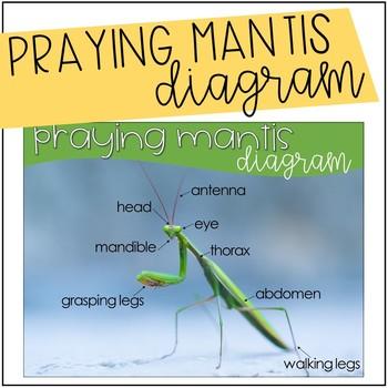 Praying Mantis Diagram {Freebie}