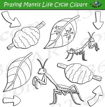 Praying Mantis Life Cycle Clipart