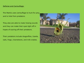Praying Mantis Power Point - Great information interactive lesson